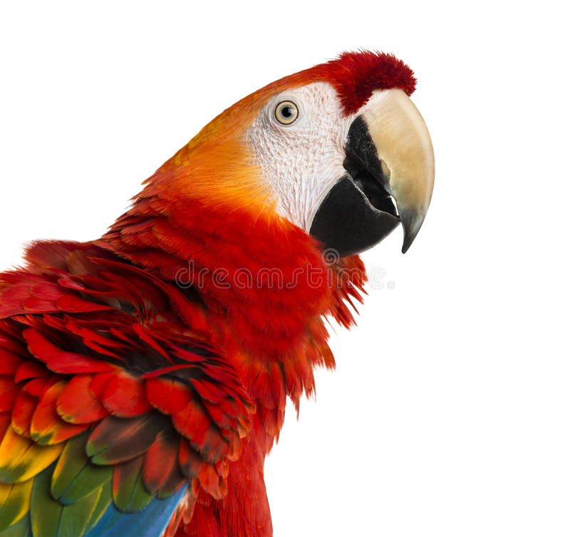 Close-up of a Scarlet Macaw (4 years old) royalty free stock image