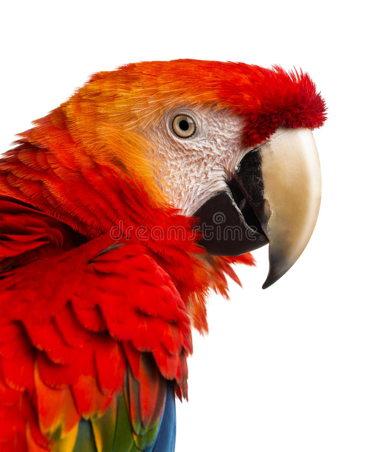 Close-up of a Scarlet Macaw (4 years old) stock photos