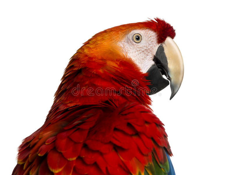 Close-up of a Scarlet Macaw (4 years old) stock photography