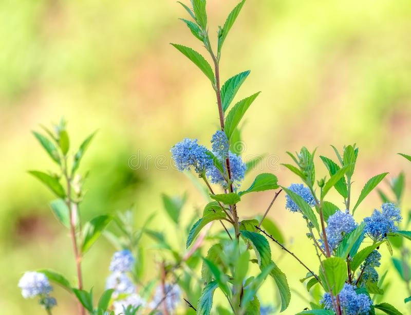 Close up scene with natural plant new Jersey tea Ceanothus americanus with defocused background stock photography