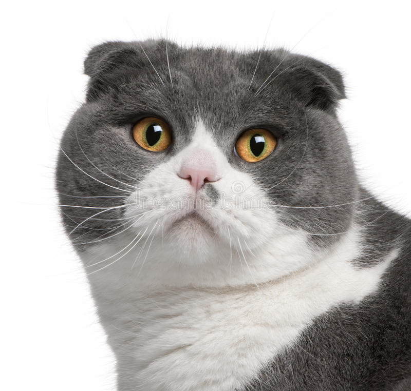 Download Close-up Of Scottish Fold Cat Stock Image - Image: 18444645