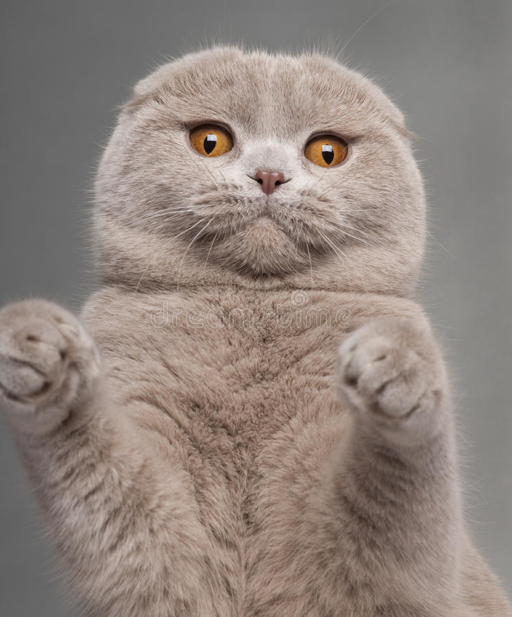 Close-up of Scottish Fold cat with paws up. 9 and a half months old, in front of grey background royalty free stock photography
