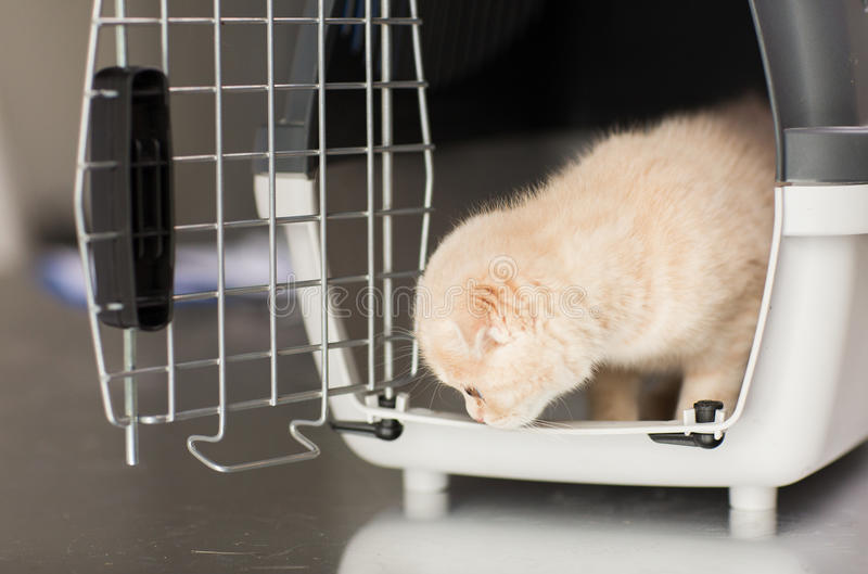 Close up of scottish fold kitten in cat carrier. Pets, animals and cats concept - close up of scottish fold kitten inside cat carrier box royalty free stock images