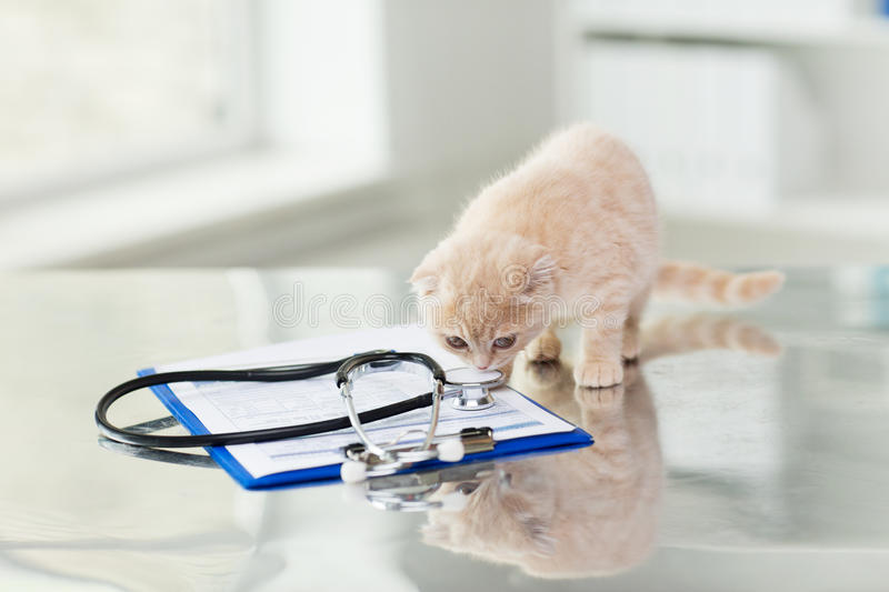 Close up of scottish fold kitten at vet clinic. Medicine, pets, animals, cats and health care concept - close up of scottish fold kitten and stethoscope with stock photo
