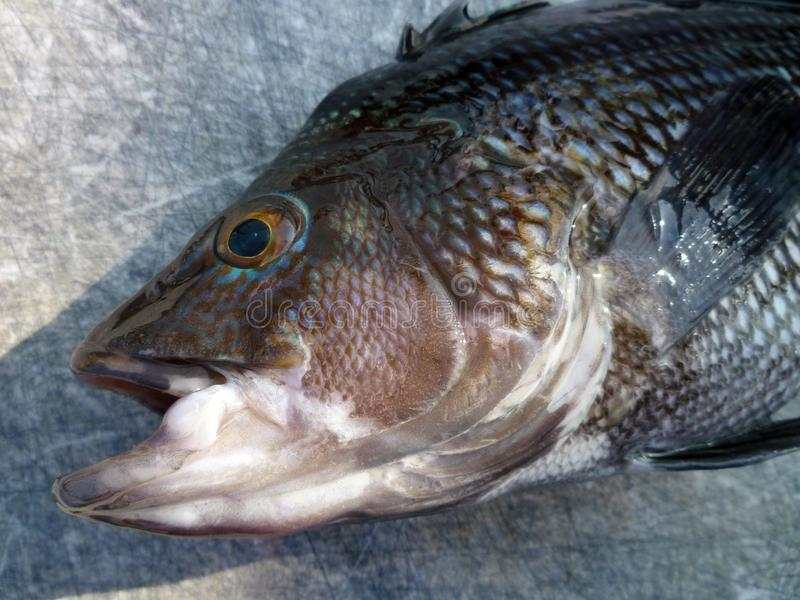 Close-up of a Sea Bass. Close-up photo of a black sea bass caught in the atlantic ocean royalty free stock images