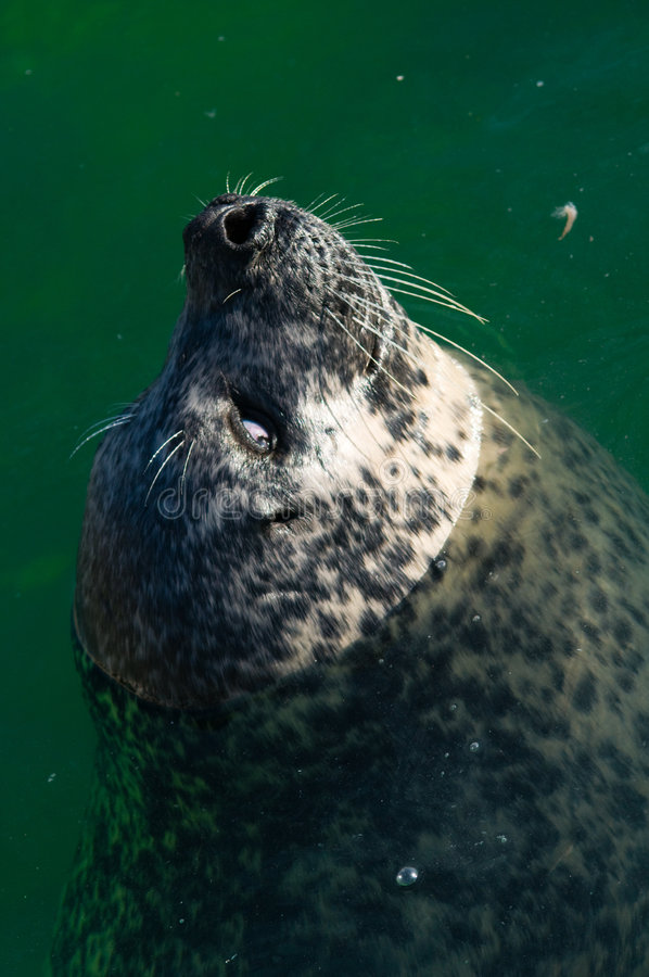 Close up of sea lion in ocean stock photography