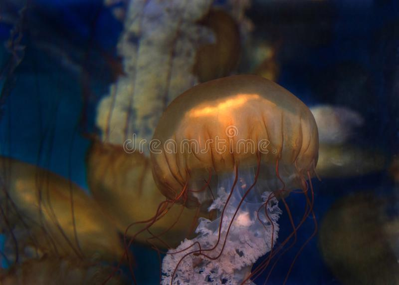 Close up of Sea Nettles Jelly Fish royalty free stock photos