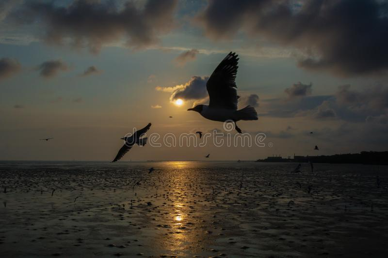 Close up Seagull flying in the air and sunset background.Freedom seagull expand wings in the sky. Seagull flying royalty free stock photo