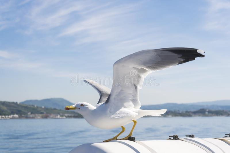 Close up Seagull with spread wings, flapped and prepared for flying on background blue sea and sky. Bird Laridae soaring. Bird Seagull known as Laridae soaring stock images