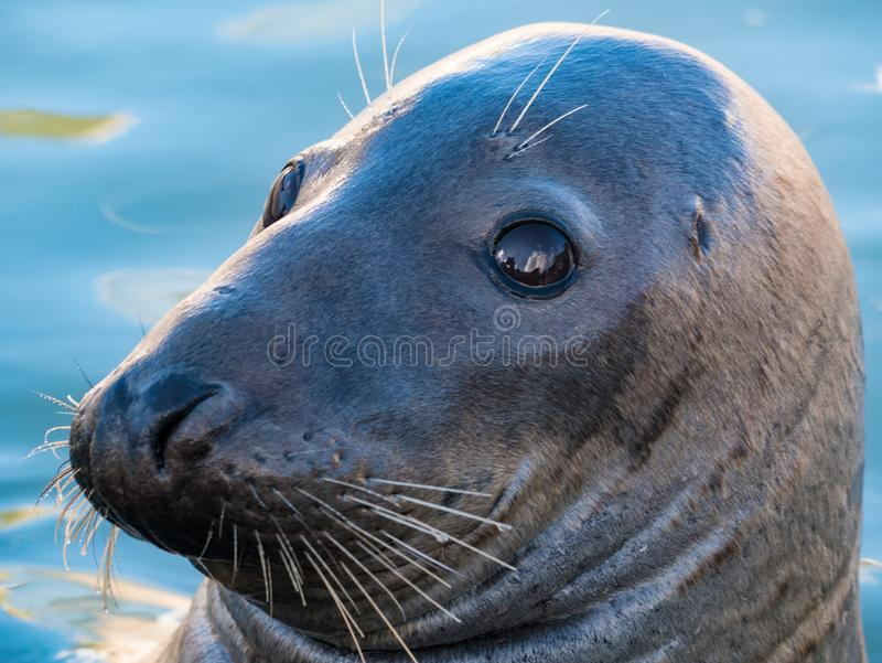 Close up of seal head. Close up of head of seal in water with black eyes and prominent whiskers stock photo