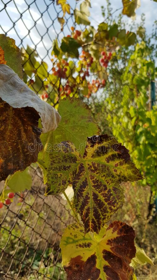 Close up seco da folha da vinha com bordas marrons e as veias amarelas Folha da vinha com fundo borrado da cerca oxidada da rede  imagens de stock