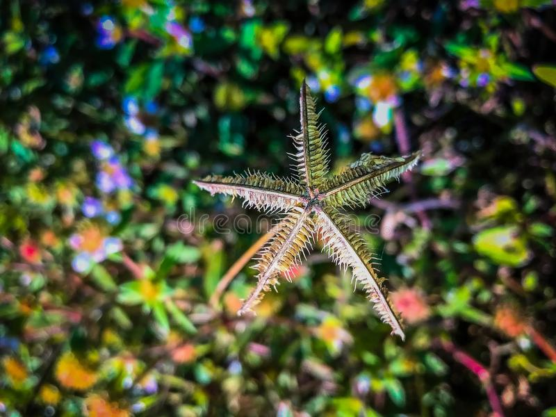 star shaped weeds royalty free stock image