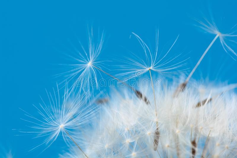 Close-up seeds of a dandelion flower on a blue background. Macro. Soft focus stock photos