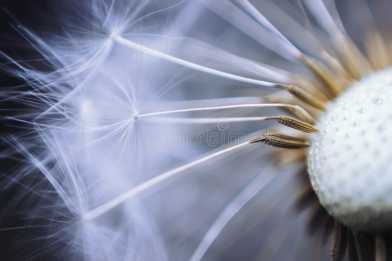 Close up of the seeds of dandelion. Selective focus royalty free stock photo