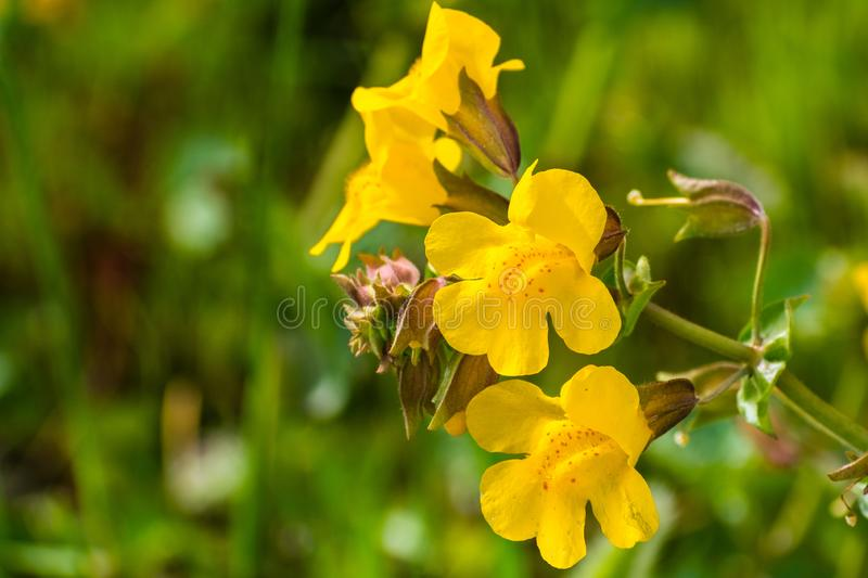 Close up of Seep monkey flower (Mimulus guttatus) blooming on the meadows of south San Francisco bay area, Santa Clara county,. California royalty free stock photo