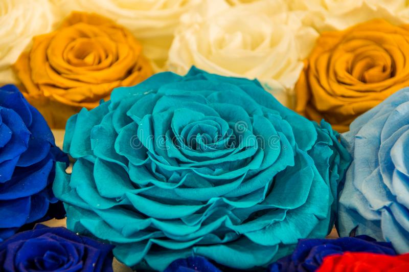 Close up of selective focus of beautiful and colorful turquoise rose surrounding of other colorful flowers.  stock photos