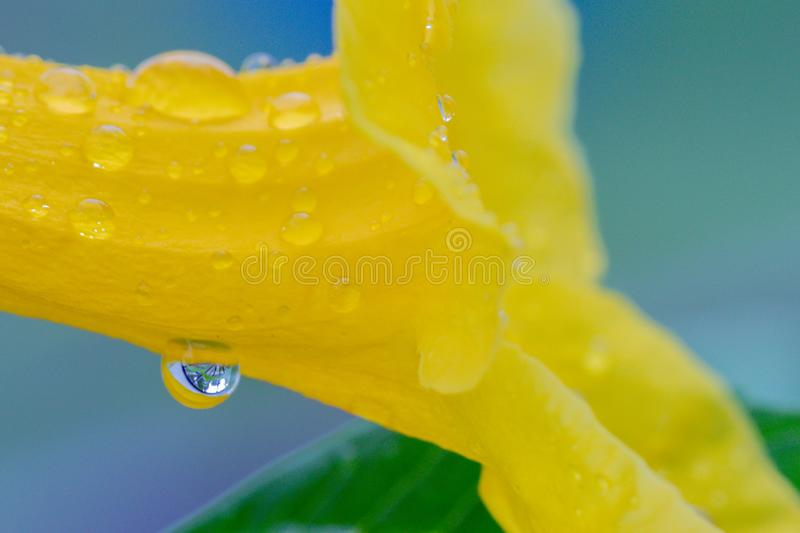 Close up selective focus beautiful Yellow Elder Flower and rain drops in the garden.Also called Yellow Ttrumpetbush,Yellow bells. royalty free stock photos