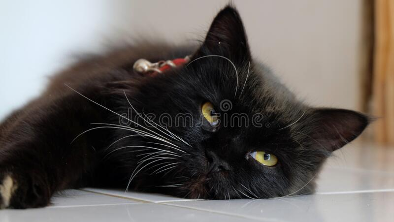 Close up and selective focus of Black cat, a common domestic cat with solid black coats with yellow eyes royalty free stock photography
