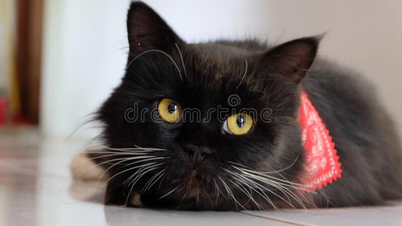 Close up and selective focus of Black cat, a common domestic cat with solid black coats with yellow eyes stock images