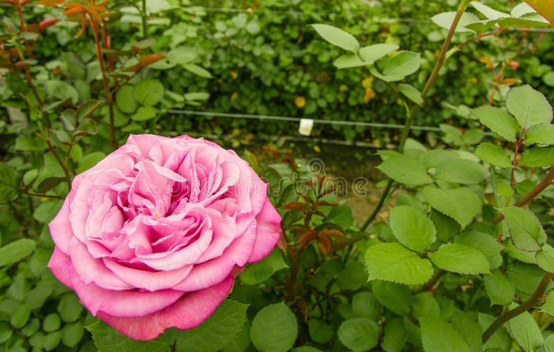 Close up of selective focus of pink rose flower in garden greenhouse, production in Ecuador royalty free stock photo