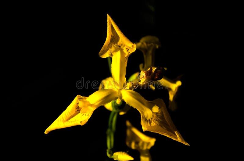 Close up selvagem amarelo das flores da íris no fundo preto foto de stock