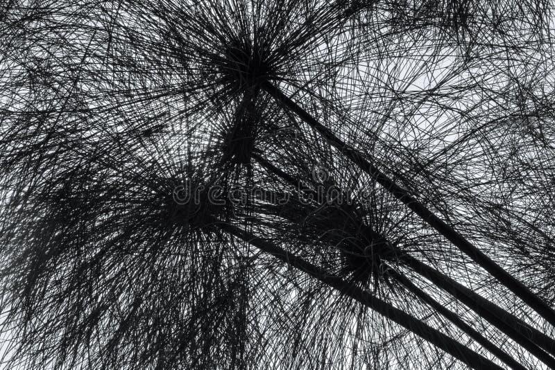 Close-up selvagem das plantas do papiro em monocromático imagem de stock