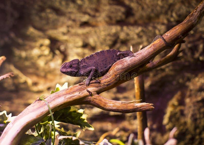 Close-up selvagem vivo do tiro dos lagartos dos répteis imagem de stock royalty free