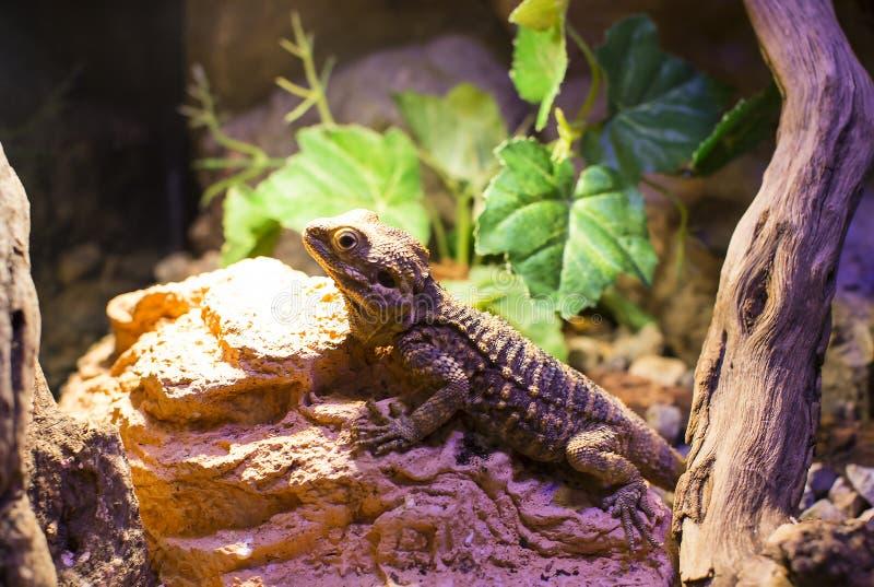 Close-up selvagem vivo do tiro dos lagartos dos répteis fotos de stock royalty free