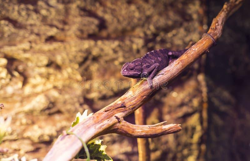 Close-up selvagem vivo do tiro dos lagartos dos répteis foto de stock