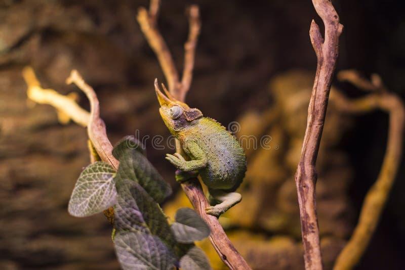 Close-up selvagem vivo do tiro dos lagartos dos répteis imagens de stock royalty free