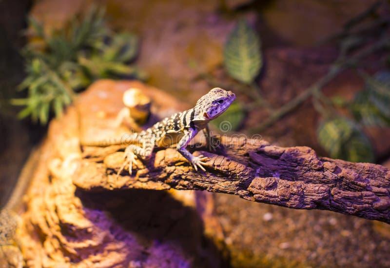 Close-up selvagem vivo do tiro dos lagartos dos répteis fotografia de stock