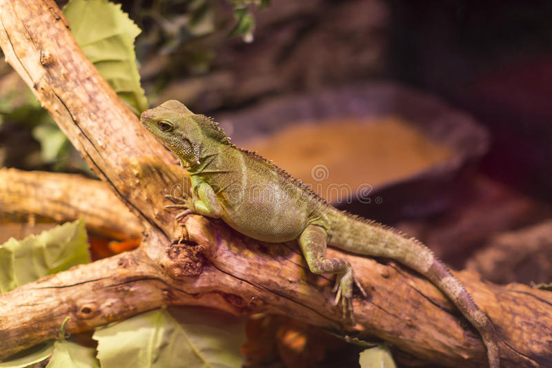 Close-up selvagem vivo do tiro dos lagartos dos répteis imagens de stock
