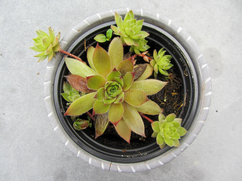 Close-up of sempervivum plant in a pot. royalty free stock photography