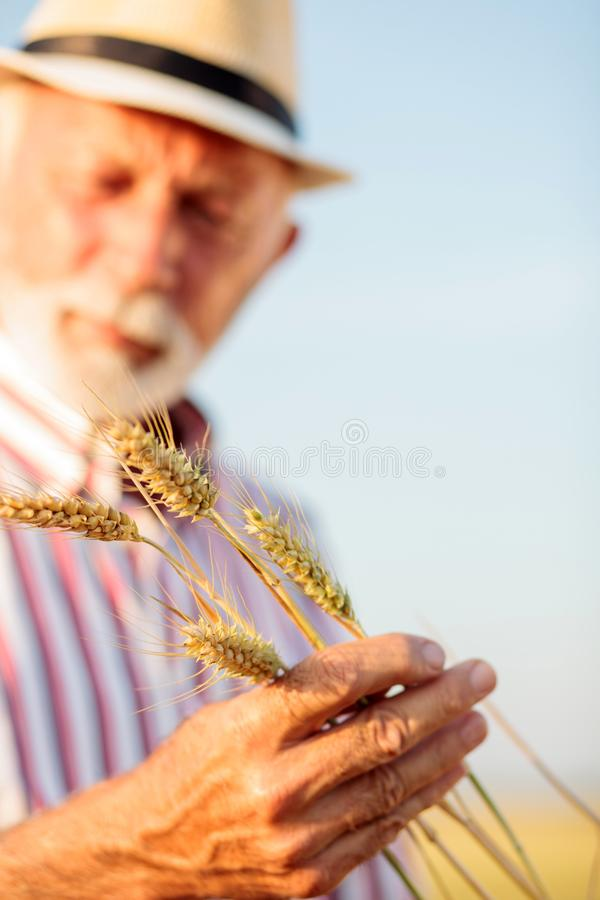 Close up of a senior agronomist or farmer holding and examining wheat stems. Close up of a senior agronomist or farmer holding wheat stems in his arms and royalty free stock image