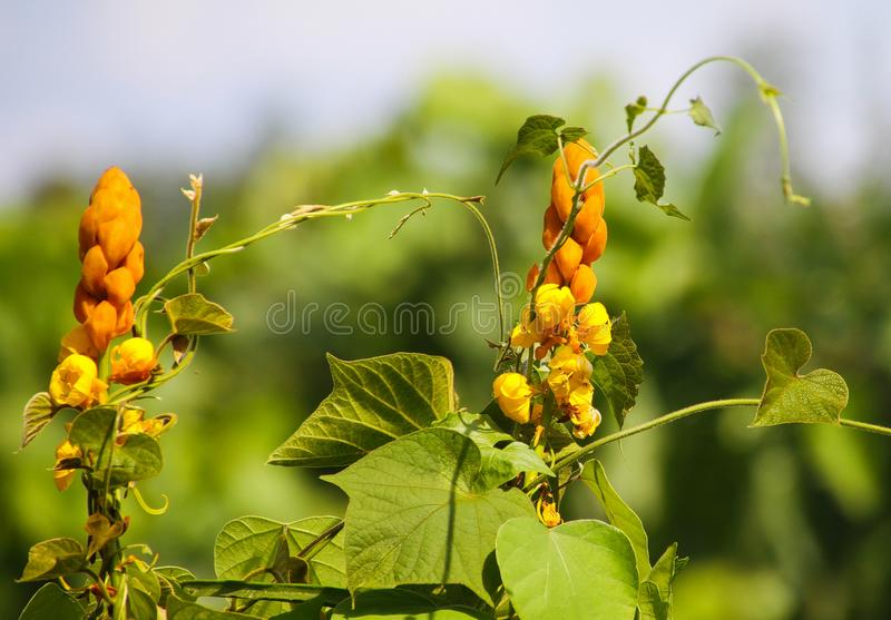 Close up of senna alata, a medicinal tree, also known as emperor`s candlesticks on tropical island Ko Lanta. It is used for ringworm or other fungal infections royalty free stock photo