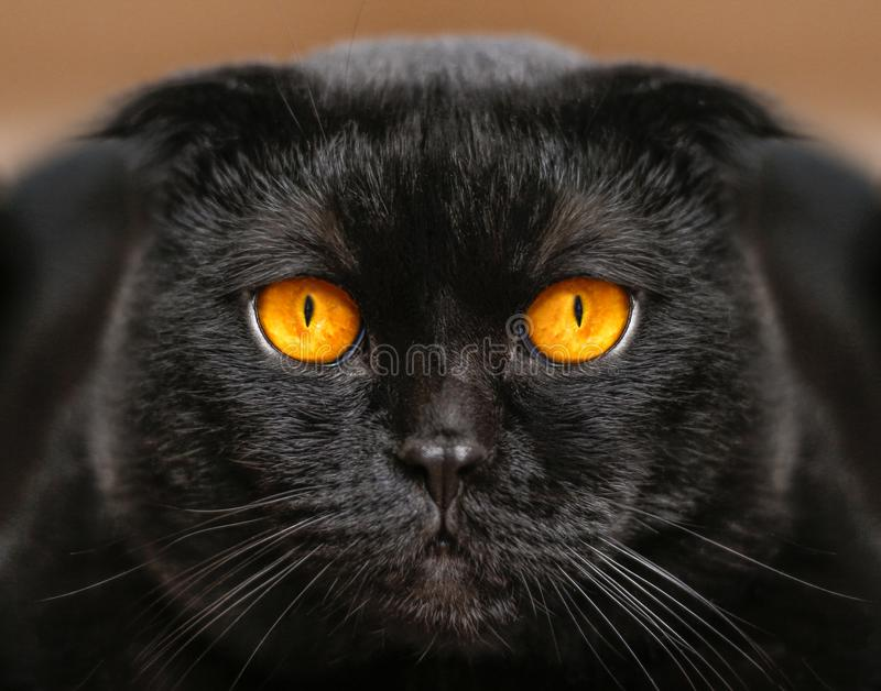 Close-up serious black Cat with Yellow Eyes in Dark. Face black. Scottish fold cat with Golden eyes. Portrait of the cat royalty free stock photo