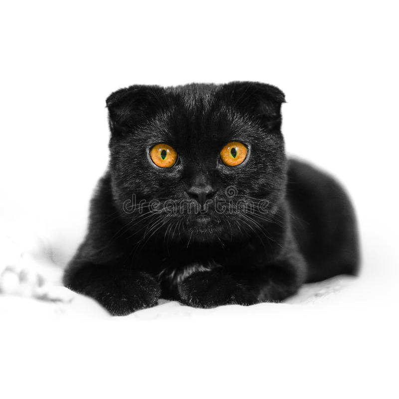 Close-up serious black Cat with Yellow Eyes in Dark. Face black. Scottish fold cat with Golden eyes. Portrait of the cat. Cat looking at the camera lying on a stock image