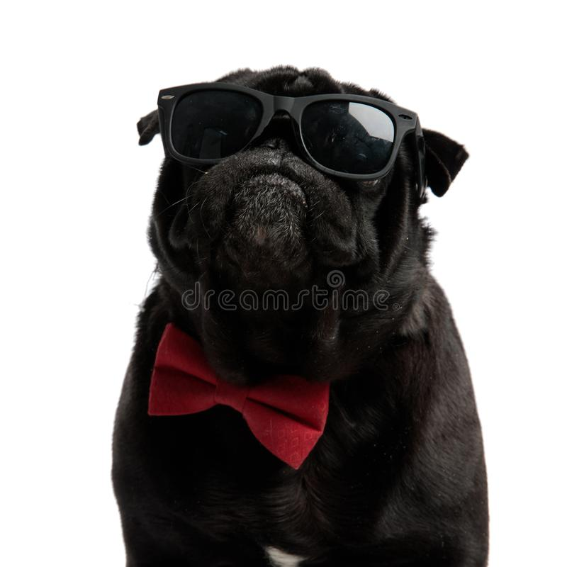 Close up of a serious looking pug staring forward stock image
