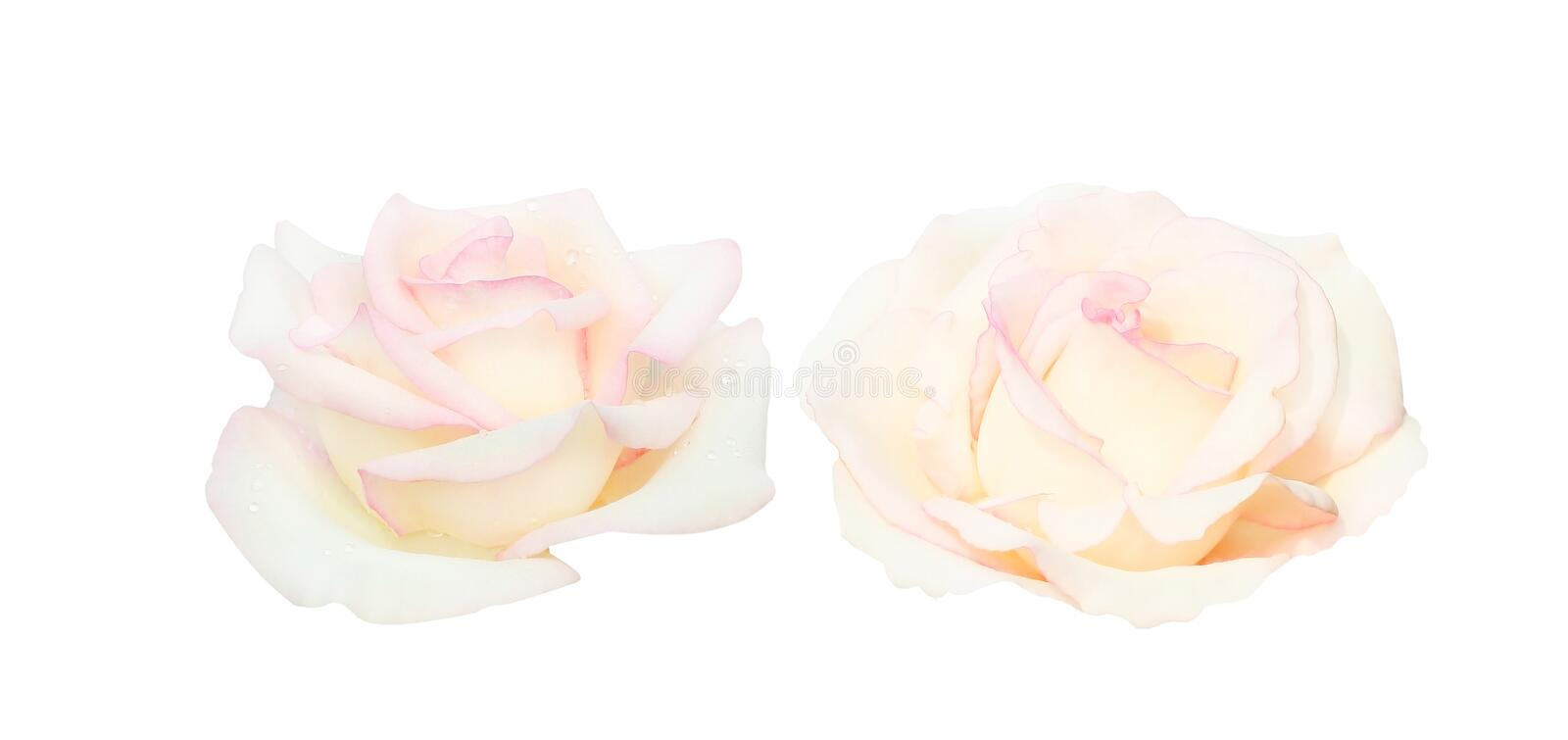 Set of two light pink roses flower head blooming with water drops isolated on white background royalty free stock photos