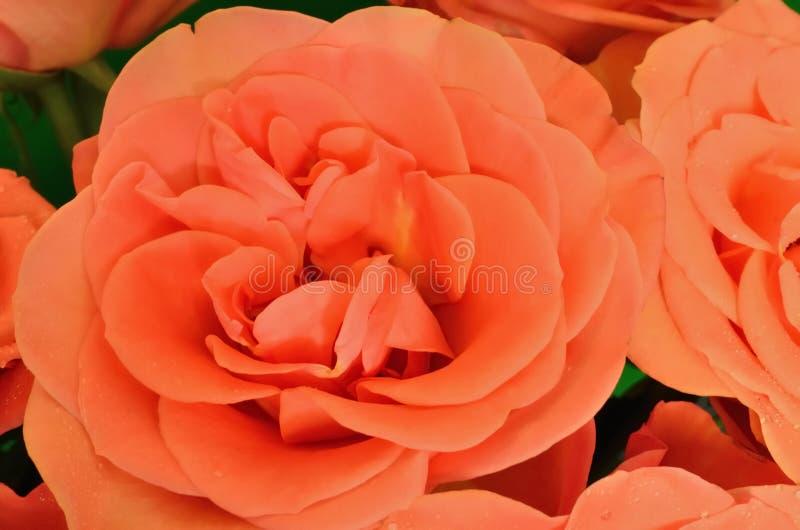 Orange roses in close-up royalty free stock image