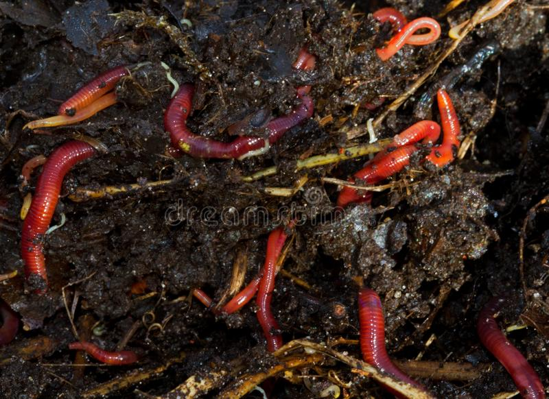 Earthworms crawling in compost. A close-up of several reddish earthworms and small white worms living in a compost heap royalty free stock photo