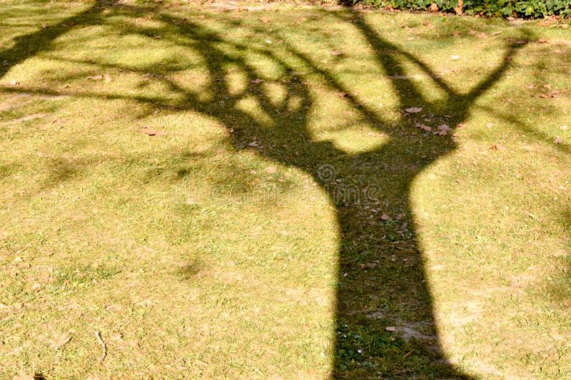 close up of a shadow of a maple tree on the grass at a green park with some dry leaves on the ground royalty free stock photo