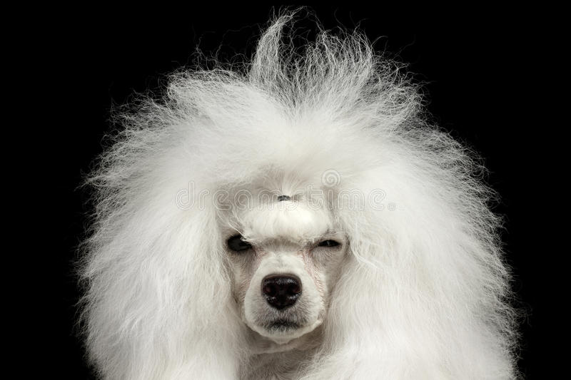 Close up Shaggy Poodle Dog Squinting Looking in camera, preto isolado fotos de stock