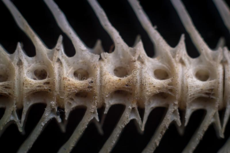 Macro of dry catfish bones stock images
