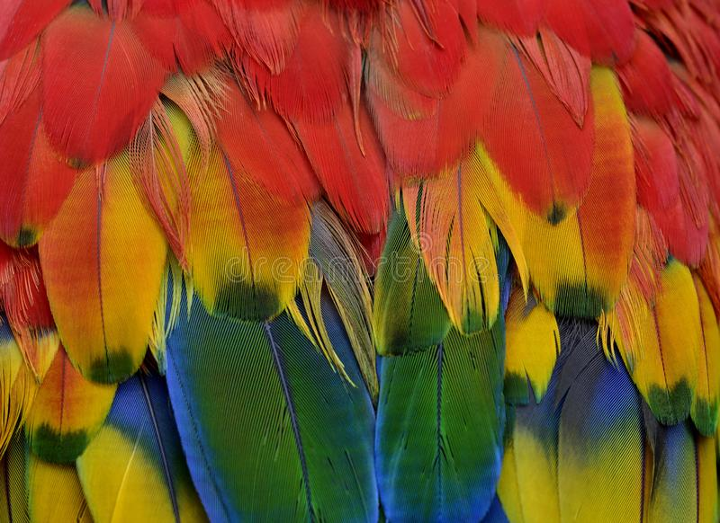 Close up sharp details of Scarlet macaw parrot bird feathers comprise of red, yellow, green and blue shade of bright and vivid. Colors, nature, colorful royalty free stock photography