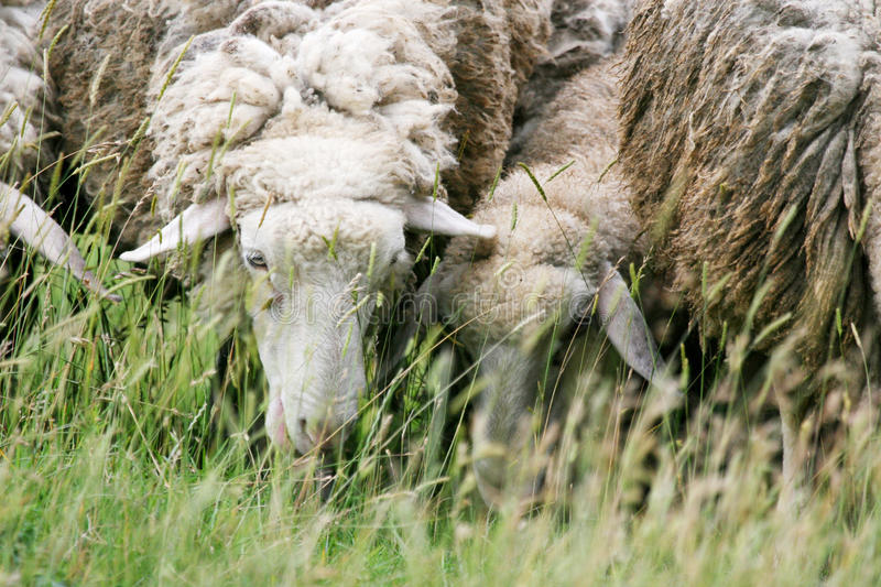 Close up of sheep eating grass. A close up of sheep grazing on a meadow royalty free stock image