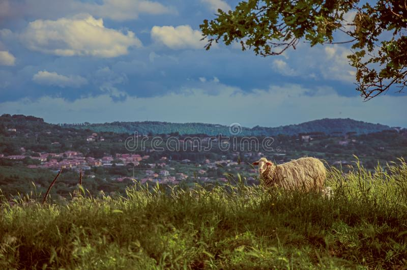 Close-up of sheep with fields and hills stock image
