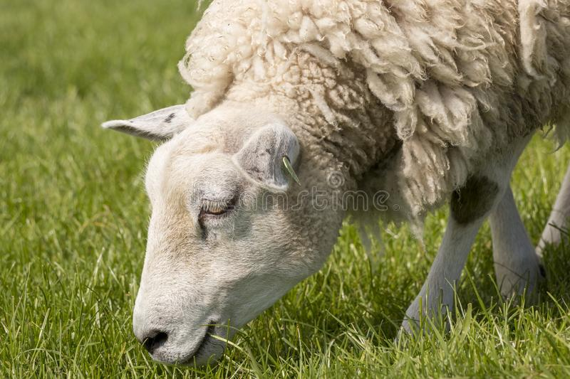 Close up of a sheep grazing on the IJsselmeer dyke. Portrait of a sheep with wool coat grazing in The Netherlands royalty free stock image