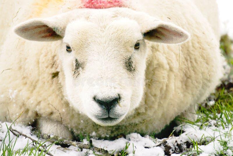 Close up of sheep`s face. stock photos