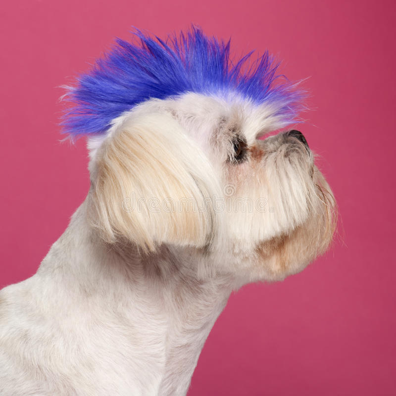 Close-up of Shih Tzu with blue mohawk royalty free stock photography